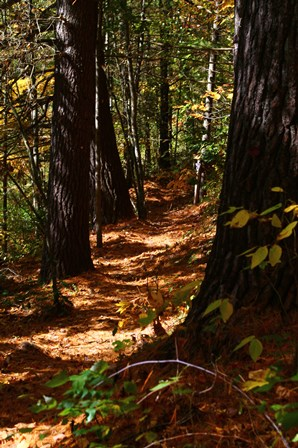 A shaded trail leading through tall white pines