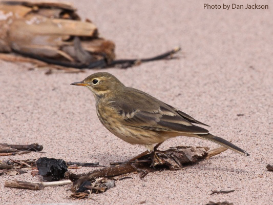 American Pipit on sandy soil