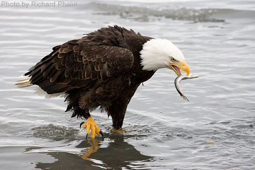 Bald Eagle standing in shallow stream catching a fish