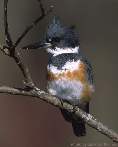 Female Belted Kingfisher on a branch