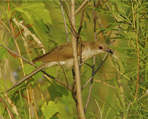 Black-billed Cuckoo perched among the willows