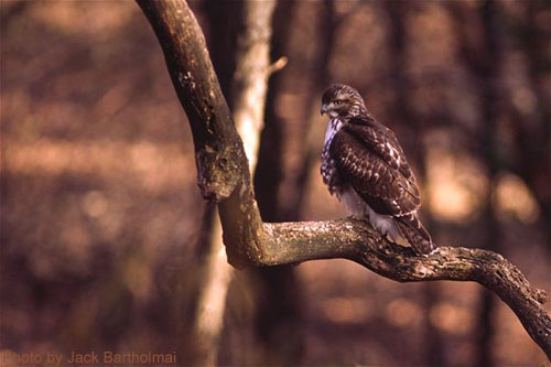 Broad-winged Hawk on a branch