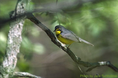 Canada Warbler lurking in the trees