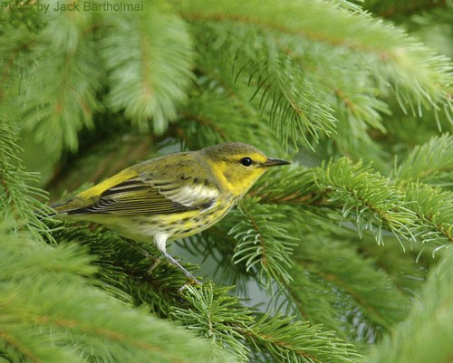 Female Cape May Warbler in the spruce tree
