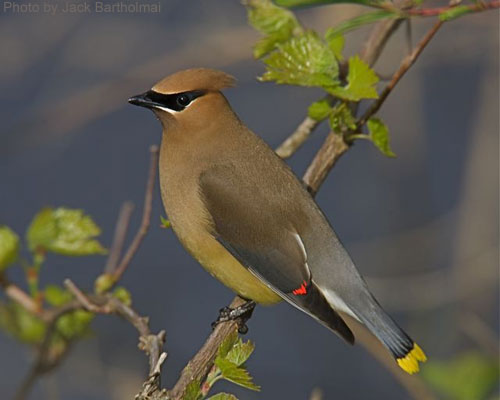 Cedar Waxwing....a sharp looking bird