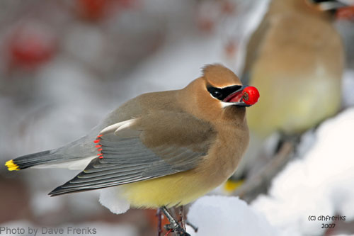 Cedar Waxwing with a red berry in its mouth