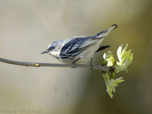 Cerulean Warbler on an oak branch