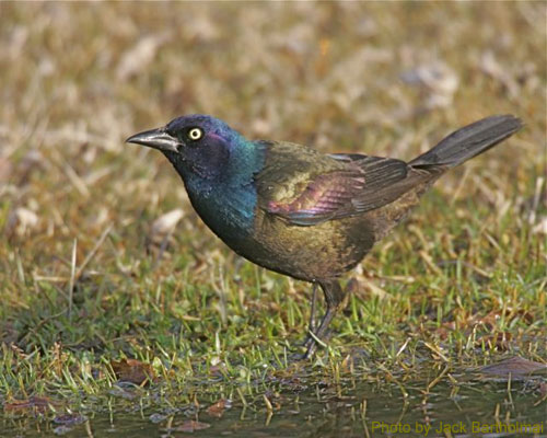 Grackle on the ground showing iridescent colors
