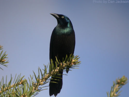 Common Grackle high atop the spruce tree
