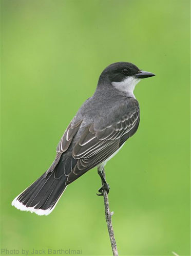 Eastern Kingbird on perch, looking back over its shoulder
