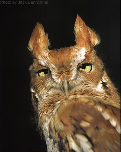 Close Up of a Screech Owl