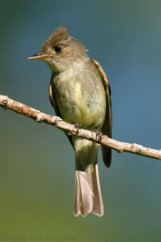 Eastern Wood Pewee frontal view