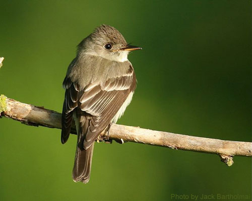 Wood Pewee looking over shoulder, sitting on branch