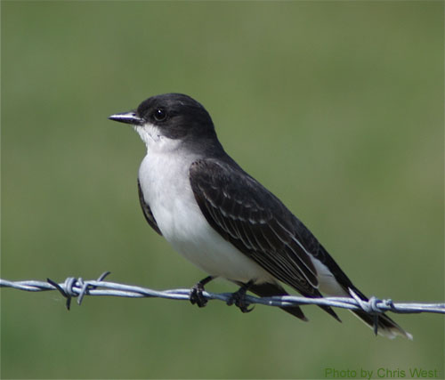 Eastern Kingbird sitting on barb wire