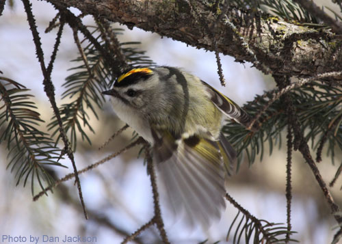 Golden-crowned Kinglet flashing its wing