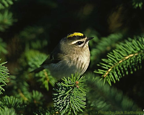 Golden-crowned Kinglet sitting in the conifer