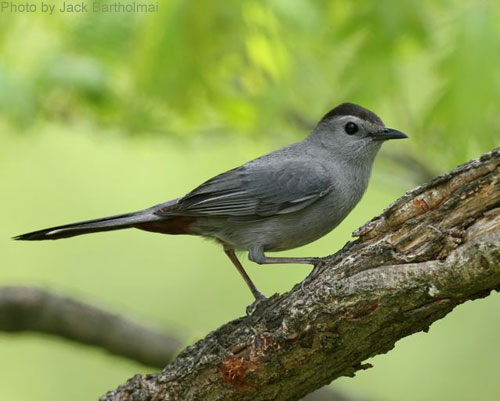 Gray Catbird on a branch