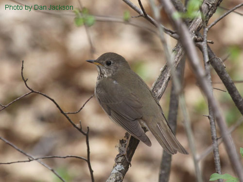 Grey-cheeked Thrush hiding in the brush