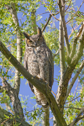 Great Horned Owl in the day time