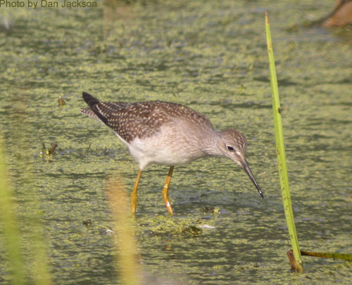 Greater Yellowlegs wading in shallow water