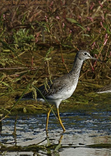 Greater Yellowlegs at the pond edge