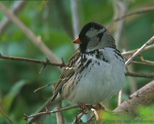 Close up of Harris's Sparrow