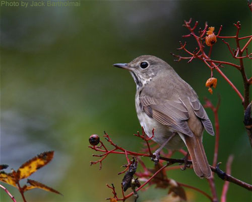Hermit Thrush on a shrub with berries