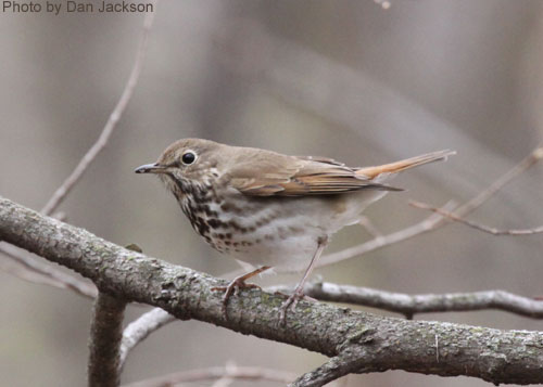 Hermit Thrush showing speckled dots on breast
