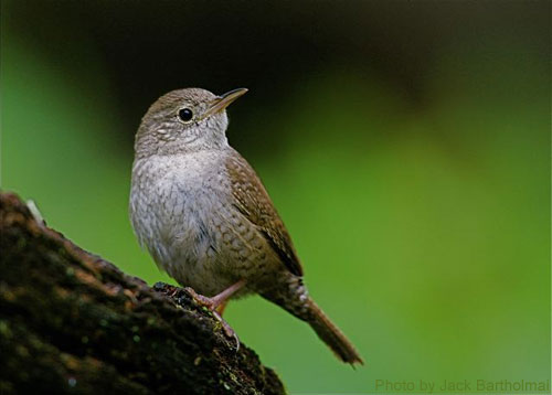 The House Wren sitting for a picture