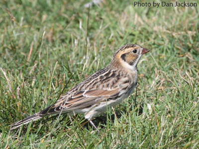Winter Male Lapland Longspur in grass