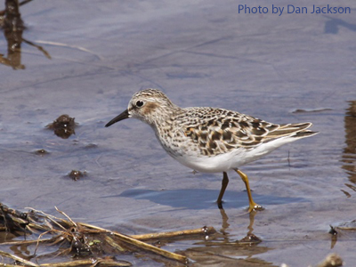 Least Sandpiper wading in the shallows