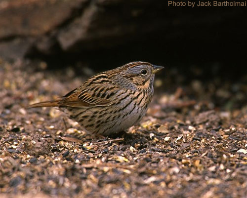 Lincoln's Sparrow standing on the ground