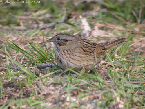 Lincoln's Sparrow on the grass