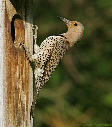 Female Flicker at a nest box