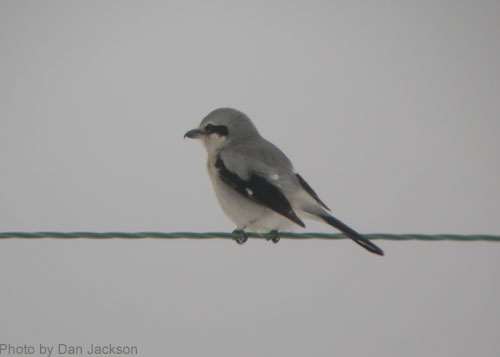 Northern Shrike sitting on a wire