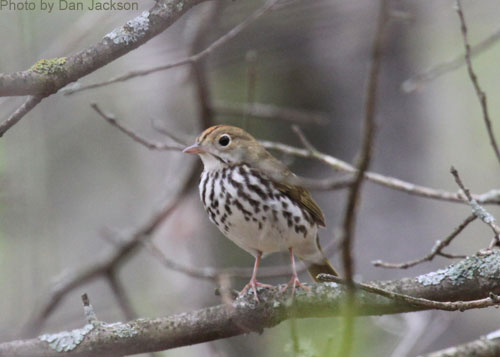 Ovenbird perched on a tree branch