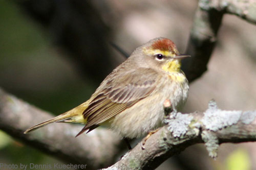 Close up of a Palm Warbler
