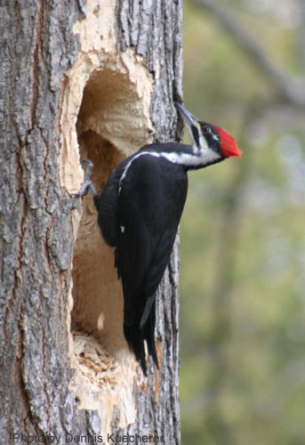 Pileated Woodpecker at characteristic rectangular hole