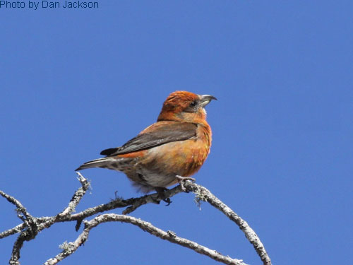 Red Crossbill high on the tree top