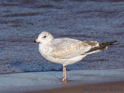 A juvenile Ring-billed Gull stands along a shore