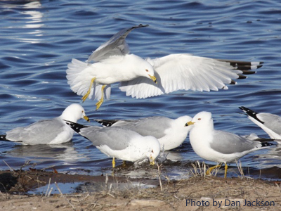 A group of Ring-billed Gulls on the shore
