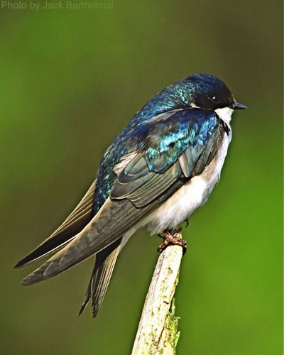 Tree swallow on branch tip showing blue and green of feathers