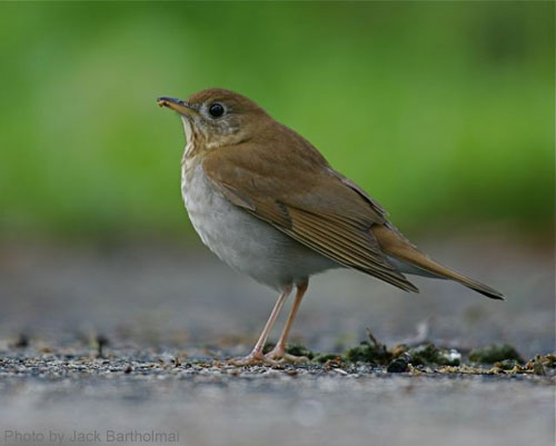 Veery on the ground, posing for the camera