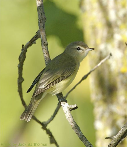 Warbling Vireo in profile