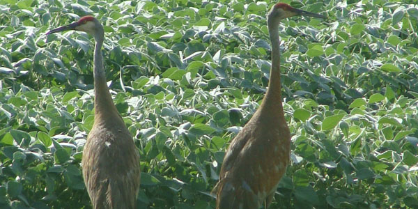 A Sandhill Crane in a field